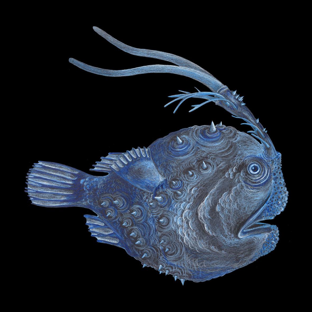 Fußballfisch (Himantolophus compressus)