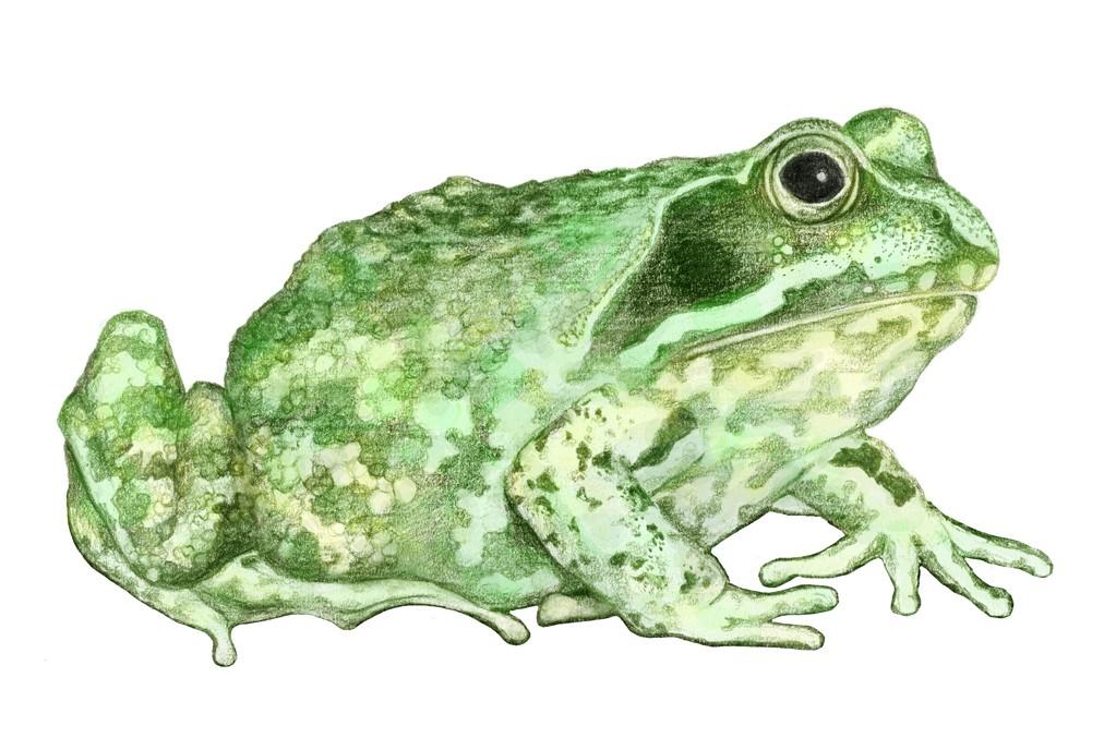 Grüner Frosch_Blog