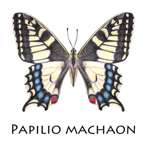 Schwalbenschwanz_Papilio Machaon_Blog